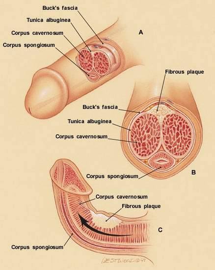 Penis anatomy structure parts picture
