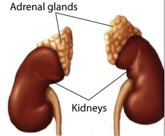 adrenal glands image