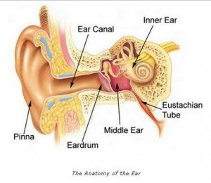 Anatomy of the ear pics